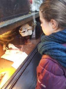 Nell looking in the Cabinet of Jurisprudence - one of the eccentric displays at the Seven Stars pub. can you see the one-spectacled skull?